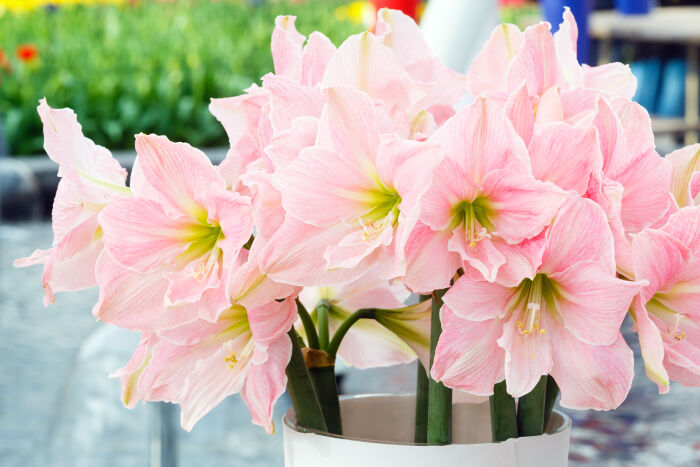 Amaryllis Flower Meaning Flower Meaning