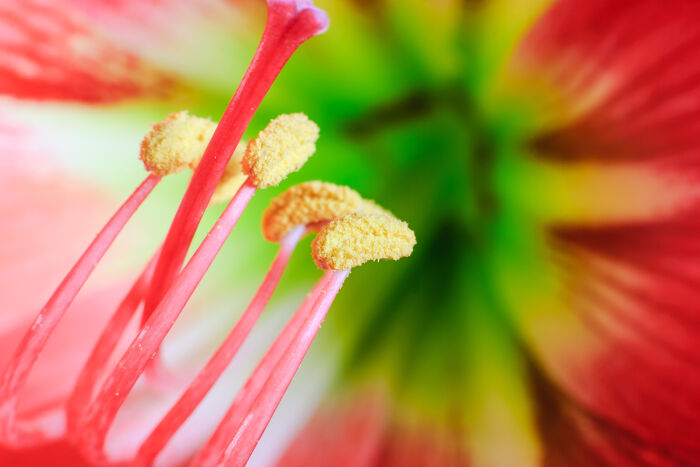 Amaryliss Flower