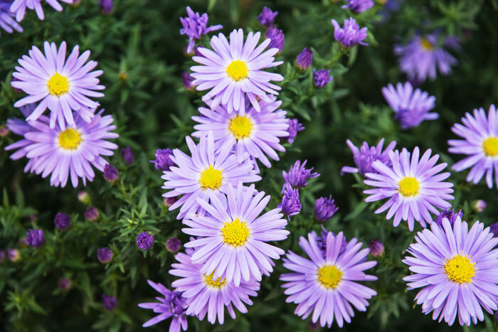 Aster flower meaning flower meaning aster mightylinksfo Choice Image