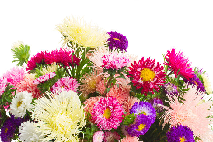 aster flower meaning  flower meaning, Natural flower