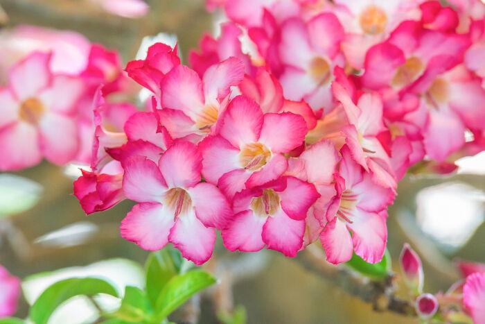 Azalea Flower Meaning Flower Meaning