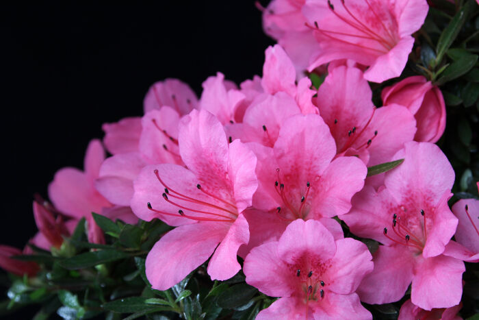 Pink flowers meaning flower meaning pink flowers meaning azalea flowers mightylinksfo