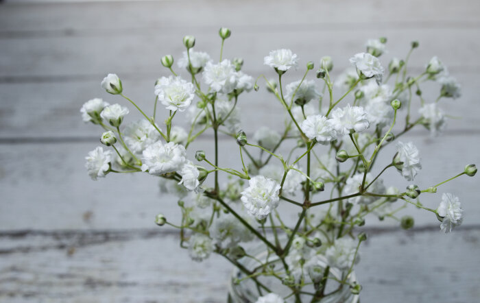baby breath flower meaning  flower meaning, Natural flower