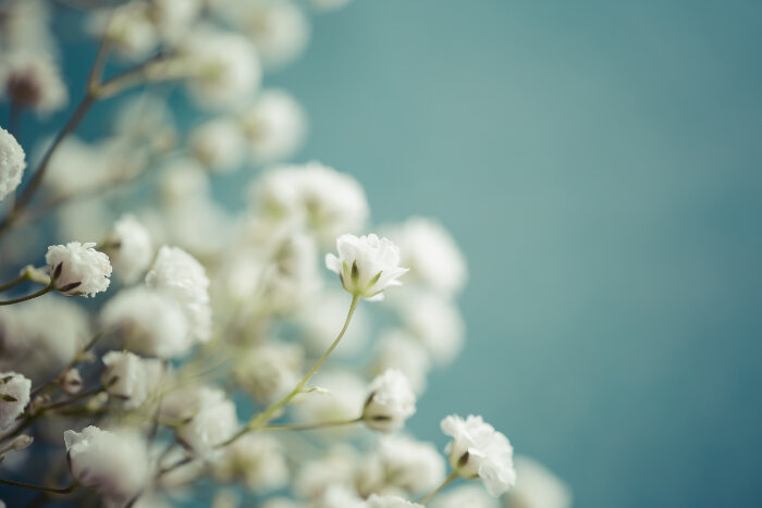 Baby Breath Flower Meaning Flower Meaning