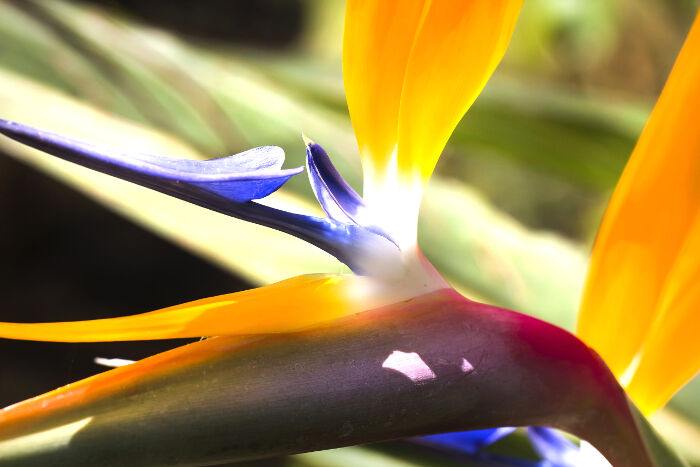 Bird of Paradise Flower Meaning - Flower Meaning