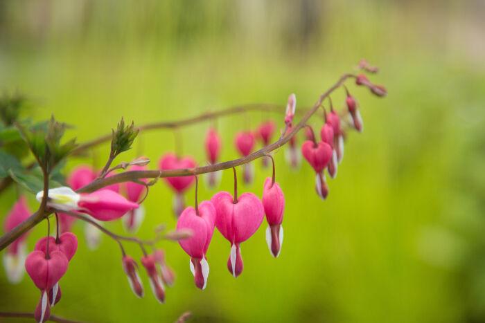 Bleeding heart flower meaning flower meaning bleeding heart flowers mightylinksfo