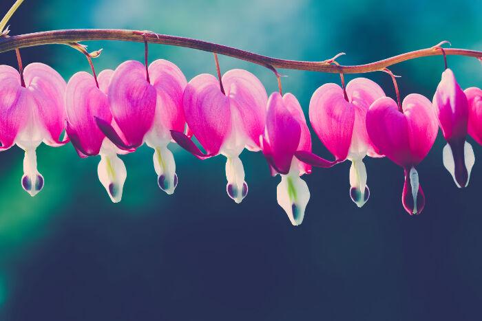 Bleeding Heart Flower Meaning - Flower Meaning
