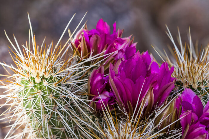 Cactus Flower Meaning - Flower Meaning