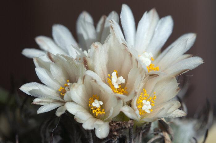 Cactus flower meaning flower meaning cactus flower mightylinksfo