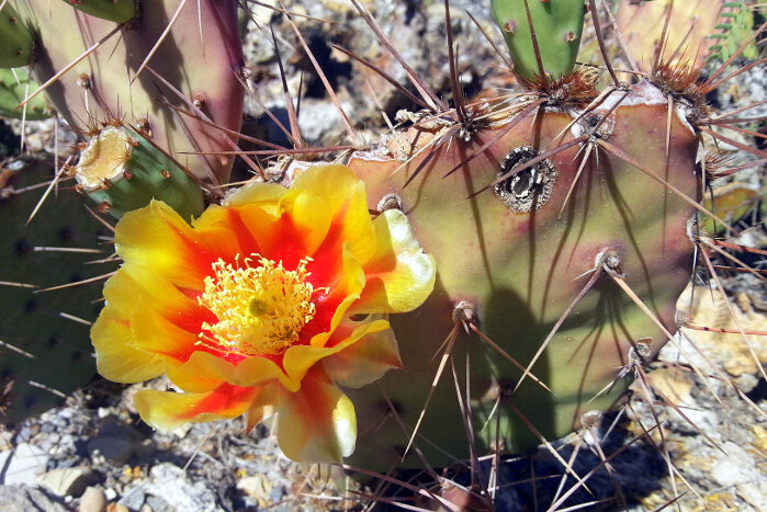 Cactus Flower Meaning Flower Meaning