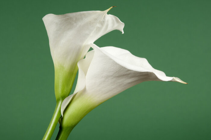 white calla lilies flowers images