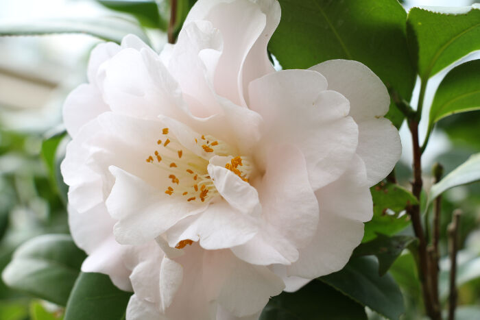 camellia flower meaning  flower meaning, Natural flower