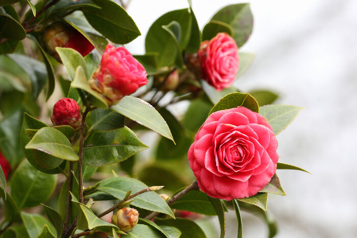 Camellia flower meaning flower meaning camellia flower mightylinksfo