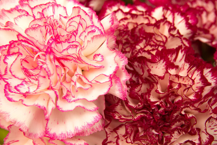 Carnation Flower Meaning - Flower Meaning