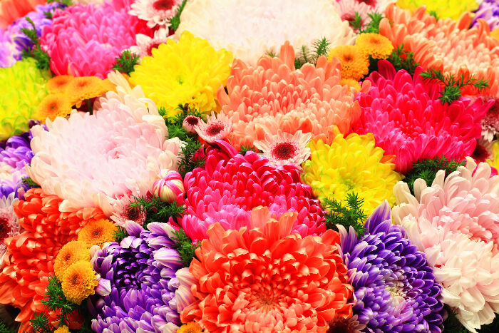 chrysanthemum flower meaning  flower meaning, Natural flower