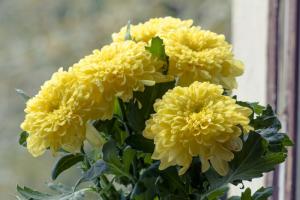 Beautiful large bouquet of yellow autumn chrysanthemums