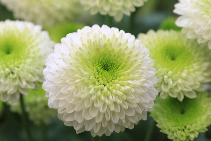 Chrysanthemum Flower Meaning - Flower Meaning