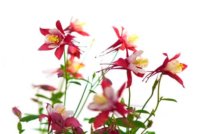 how to draw a columbine flower