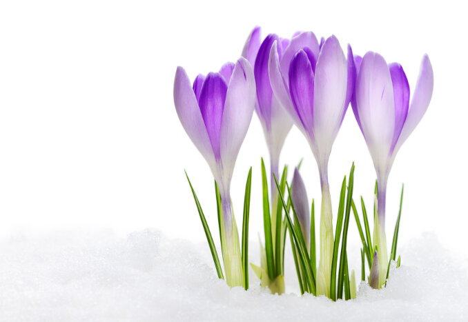Crocus flower meaning flower meaning crocus flowers mightylinksfo