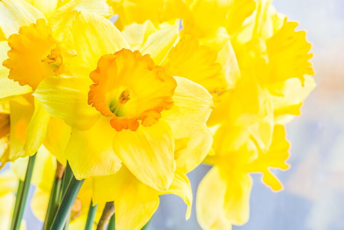 Daffodil flower meaning flower meaning daffodil flower mightylinksfo
