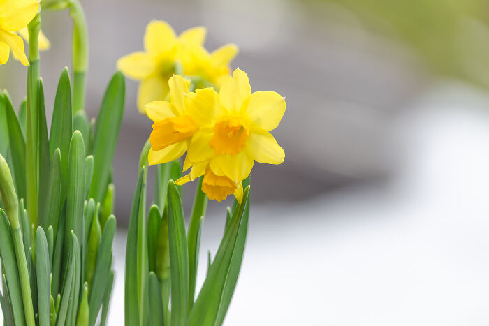 daffodil flower meaning  flower meaning, Natural flower