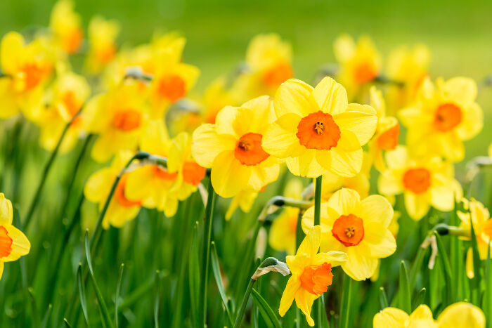 Daffodil flower meaning flower meaning daffodils are one of the earliest flowers to bloom in the spring and are often associated with springtime and rebirth these trumpet shaped flowers come in mightylinksfo