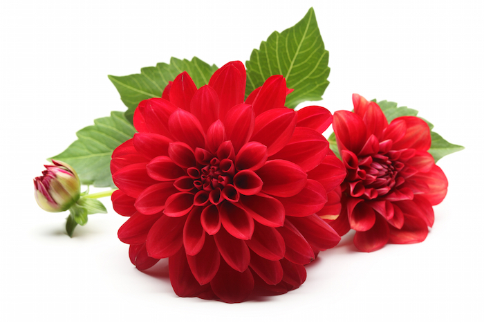 dahlia flower meaning  flower meaning, Natural flower