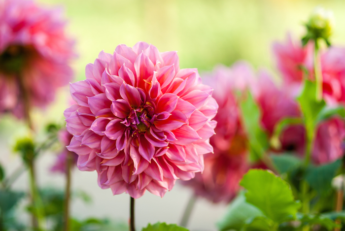 dahlia flower meaning flower meaning