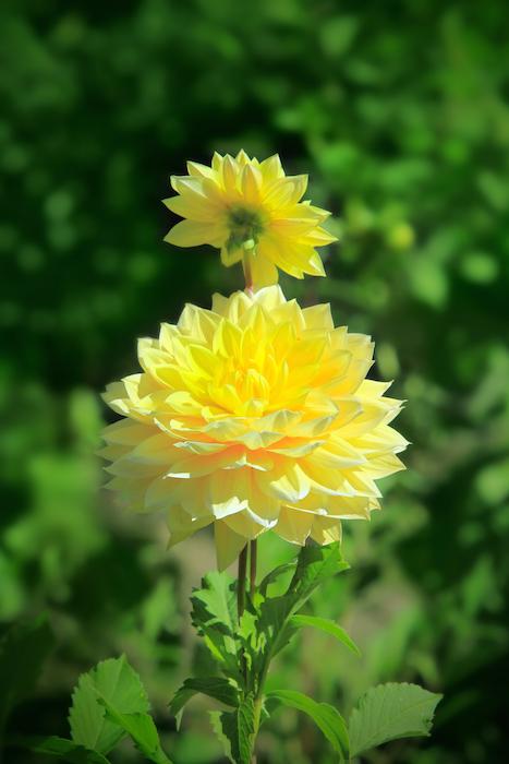 Dahlia flower meaning flower meaning dahlia flower mightylinksfo Gallery