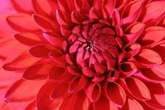 dalia flor simbolismo