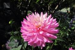 Flor de la dalia