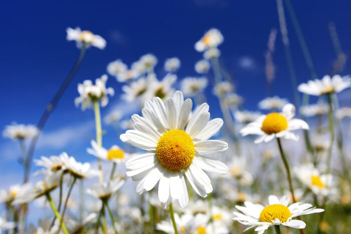 daisy flower meaning  flower meaning, Beautiful flower