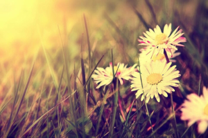 Spring. White daisy flowers in the grass. Vintage instagram paintaing graphic.