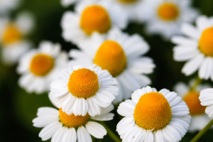 White daisy flowers. White daisies. Spring flowers.