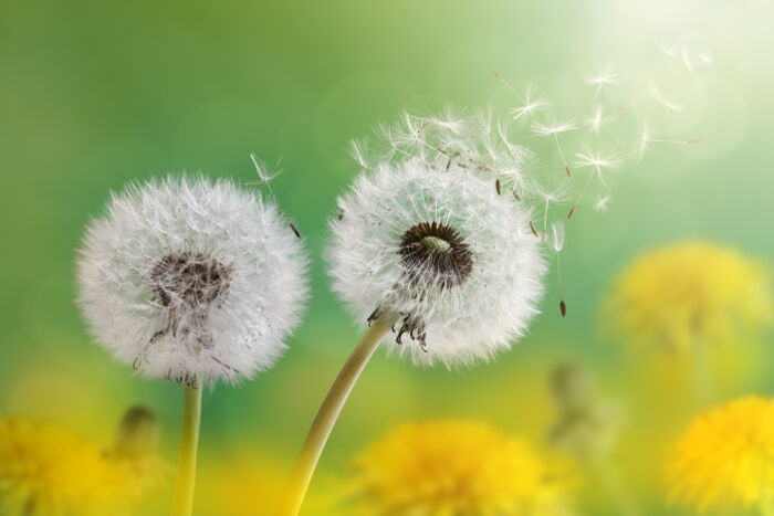dandelion flower meaning  flower meaning, Natural flower