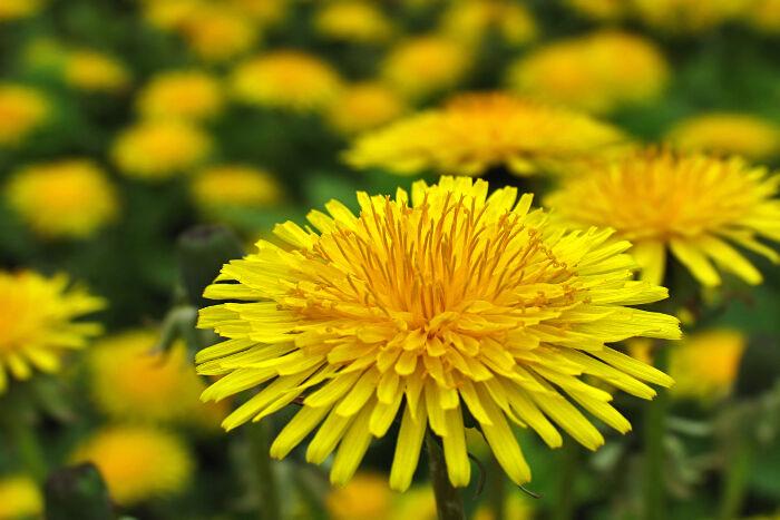 Dandelion Flower Meaning - Flower Meaning