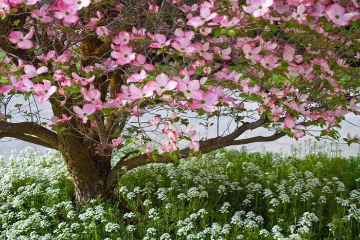 image about Legend of the Dogwood Tree Printable referred to as Dogwood Flower Which means - Flower That means