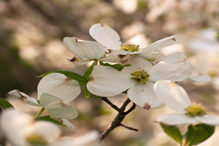 photograph relating to Legend of the Dogwood Tree Printable identified as Dogwood Flower Which means - Flower This means