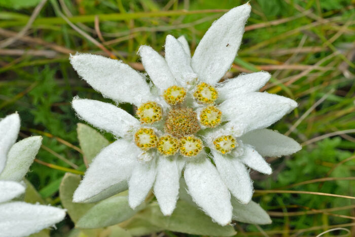 edelweiss flower meaning  flower meaning, Natural flower