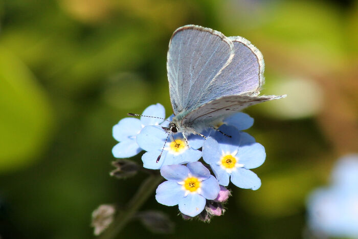 forget me not flower meaning  flower meaning, Natural flower