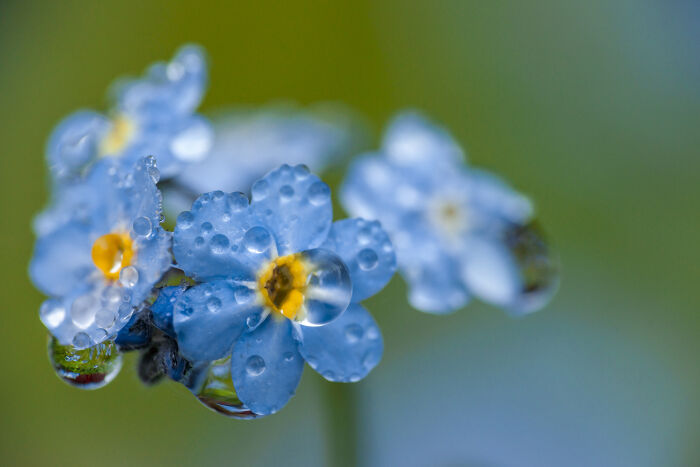 Forget me not flower meaning flower meaning forget me not flowers mightylinksfo