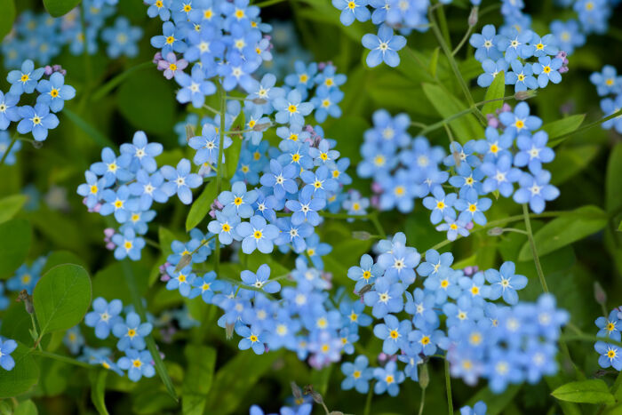 Forget me not flower meaning flower meaning - Show me flowers ...