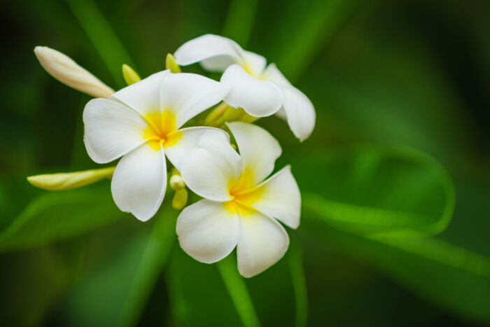 frangipani flower meaning flower meaning