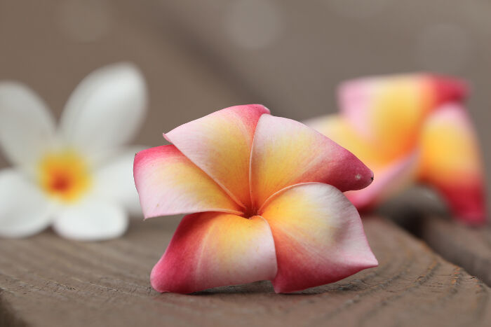 frangipani flower meaning  flower meaning, Natural flower