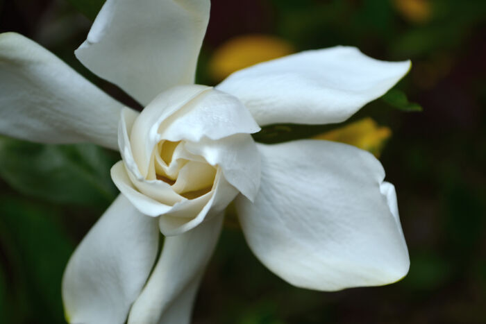 gardenia flower meaning  flower meaning, Beautiful flower