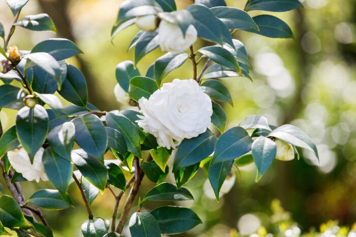 Gardenia flower meaning flower meaning gardenia flower mightylinksfo
