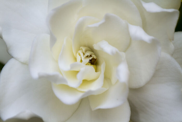 Gardenia Flower Meaning - Flower Meaning