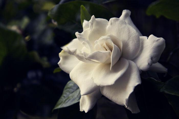 gardenia flower meaning  flower meaning, Natural flower