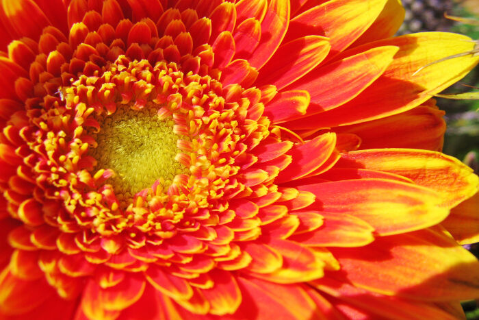 gerbera flower meaning  flower meaning, Natural flower
