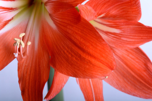 flowers close up, beautiful red gladiolus close up